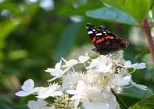 Almirante - atalanta de Vanessa, borboleta nas flores brancas, no fundo verde, espaço da cópia foto de stock