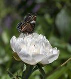 Almirante branco Butterfly em uma grande flor da peônia imagem de stock royalty free