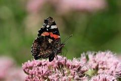 Almirante da borboleta na flor cor-de-rosa foto de stock