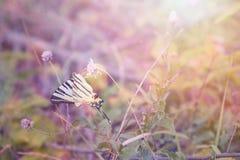 Almirante de la mariposa en un néctar de consumición de la luz de hadas en una flor fotos de archivo libres de regalías