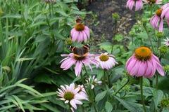 Almirante rojo Butterflies en coneflowers Foto de archivo libre de regalías