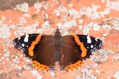 Almirante rojo Butterfly Imagen de archivo