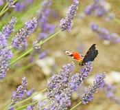 Almirante rojo Butterfly Fotos de archivo