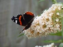 Almirante rojo Butterfly Imágenes de archivo libres de regalías