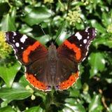 Almirante rojo Butterfly Foto de archivo libre de regalías