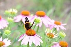 Almirante rojo Butterfly en la flor rosada del echinacea Imagenes de archivo