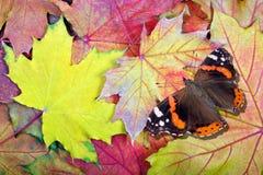Almirante rojo Butterfly mariposa en las hojas de otoño brillantes fondo brillante de la textura de las hojas de arce Visión supe imagen de archivo libre de regalías