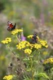 Almirante rojo de la mariposa con las alas y la mariposa de pavo real dobladas Foto de archivo libre de regalías