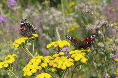 Almirante rojo de la mariposa con las alas y la mariposa de pavo real dobladas Fotografía de archivo libre de regalías