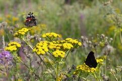 Almirante rojo de la mariposa y mariposa de pavo real con las alas dobladas Fotos de archivo