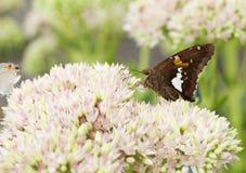 Almirante vermelho bonito borboleta em Sedum Bl Imagem de Stock Royalty Free