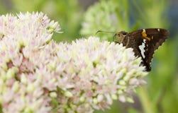 Almirante vermelho bonito borboleta em Sedum Bl Fotos de Stock Royalty Free