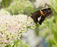 Almirante vermelho bonito borboleta em Sedum Bl Foto de Stock