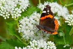 Almirante vermelho Butterfly Fotos de Stock Royalty Free