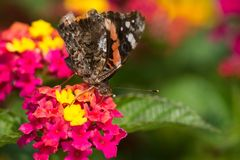 Almirante vermelho Butterfly Imagens de Stock