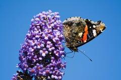 Almirante vermelho Butterfly Imagem de Stock Royalty Free