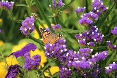 Almirante vermelho Butterfly em flores eternas roxas Imagens de Stock