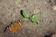 Almirante vermelho Butterfly na terra Imagens de Stock