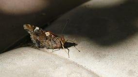 Almirante vermelho Butterfly Sitting On a telha do passeio vídeos de arquivo