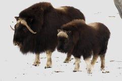 Almizcle-oxs en la nieve fresca Fotos de archivo