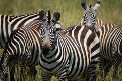 Almoço da zebra Imagens de Stock Royalty Free