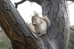 Almoço do esquilo bonito Fotografia de Stock