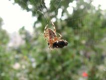 Almoço do `s da aranha Imagens de Stock
