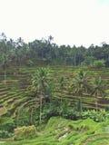 Almofada de arroz de Tegalalang Fotografia de Stock Royalty Free