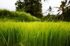 Almofada de arroz em Bali Imagens de Stock Royalty Free