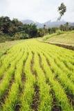 Almofada de arroz em Bali Imagens de Stock