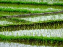 Almofada de arroz em Bali Imagem de Stock Royalty Free