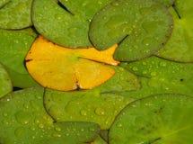 Almofada de lírio amarela solitária Imagem de Stock Royalty Free
