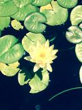 Almofada de Lilly Imagem de Stock