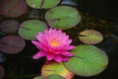 Almofada de Lilly na lagoa do quintal imagem de stock