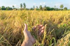 Almofada, planta de arroz e mão na parte dianteira Imagens de Stock