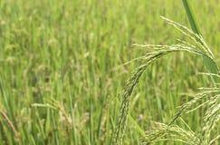 A almofada verde do arroz coloca e é logo até a colheita da semente foto de stock