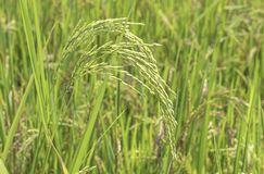 A almofada verde do arroz coloca e ? logo at? a colheita da semente imagens de stock