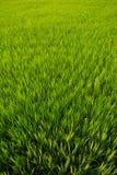 Almofadas de arroz em Ásia Imagens de Stock Royalty Free