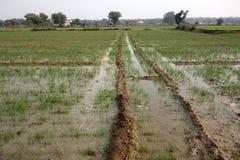 Almofadas de arroz indianas nas planícies Foto de Stock Royalty Free