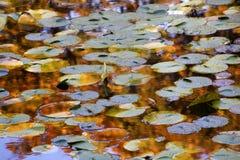 Almofadas de lírio azuis Reflexão do ouro Van Dusen Jardim Fotos de Stock Royalty Free
