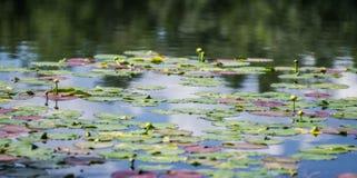 Almofadas de lírio coloridas que flutuam em uma lagoa quieta foto de stock royalty free