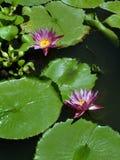 Almofadas de lírio com flores. Foto de Stock