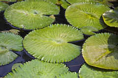 Almofadas de lírio da água Fotos de Stock Royalty Free