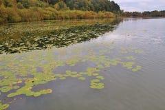 Almofadas de lírio da água no lago ibm, ou no lago Heratinger, em Upper Austria, no outono foto de stock