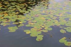 Almofadas de lírio da água no lago ibm, ou no lago Heratinger, em Upper Austria, no outono imagens de stock