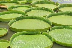 Almofadas de lírio de Amazon em Ásia foto de stock