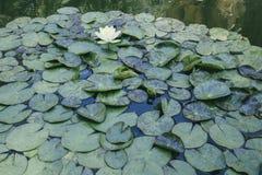 Almofadas de lírio em uma lagoa imagens de stock
