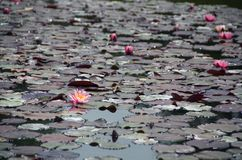 Almofadas de lírio em uma lagoa Imagem de Stock