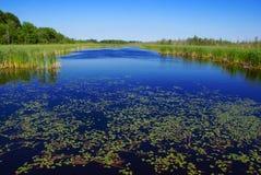 Almofadas de lírio nas regiões pantanosas Fotografia de Stock Royalty Free