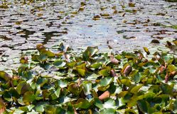 Almofadas de lírio que cobrem uma lagoa Fotos de Stock